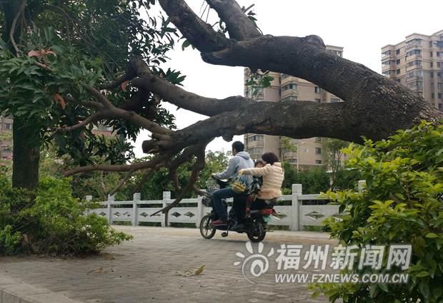 洪阵河边行道树倾斜 孩子放学经过家长胆战心惊