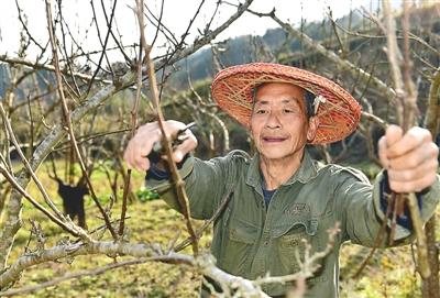 小桥镇后塘村甘源自然村的果农在修剪梨树