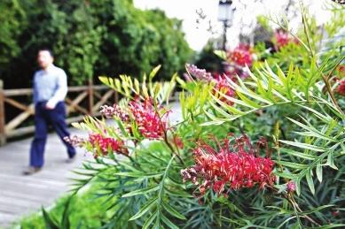 红花银桦树形好,花色特别艳丽