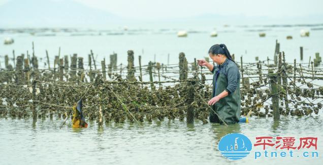 美味独特 平潭海蛎迎来最为鲜美的季节