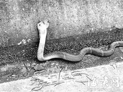 通往鼓岭县道有人放生毒蛇 近期上鼓岭要小心