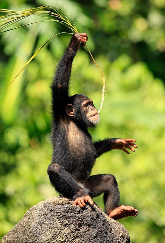 非洲黑猩猩丛林手舞足蹈 开怀大笑萌态十足