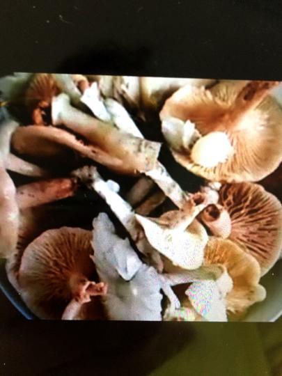 患者手机拍摄的毒蘑菇照片。