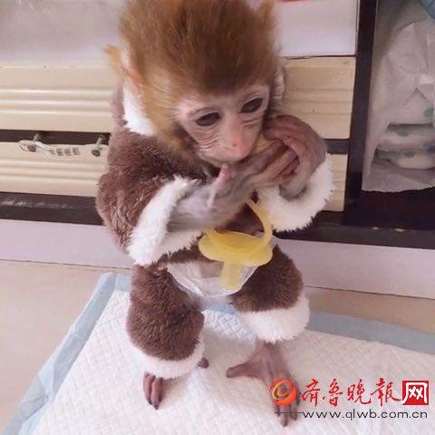 就是网购石猴被拉黑所谓迷你袖珍猴女孩普通一中女生萧城图片