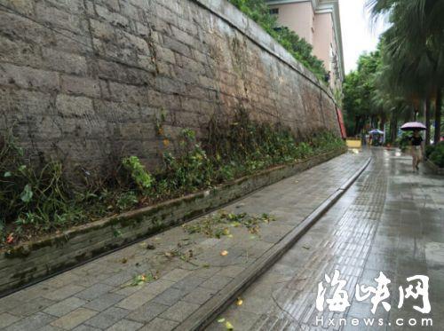 这片原本绿油油的墙,如今绿萝全部被清理掉,换上了爬山虎