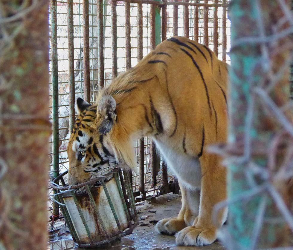 巴勒斯坦加沙动物园因环境恶劣再