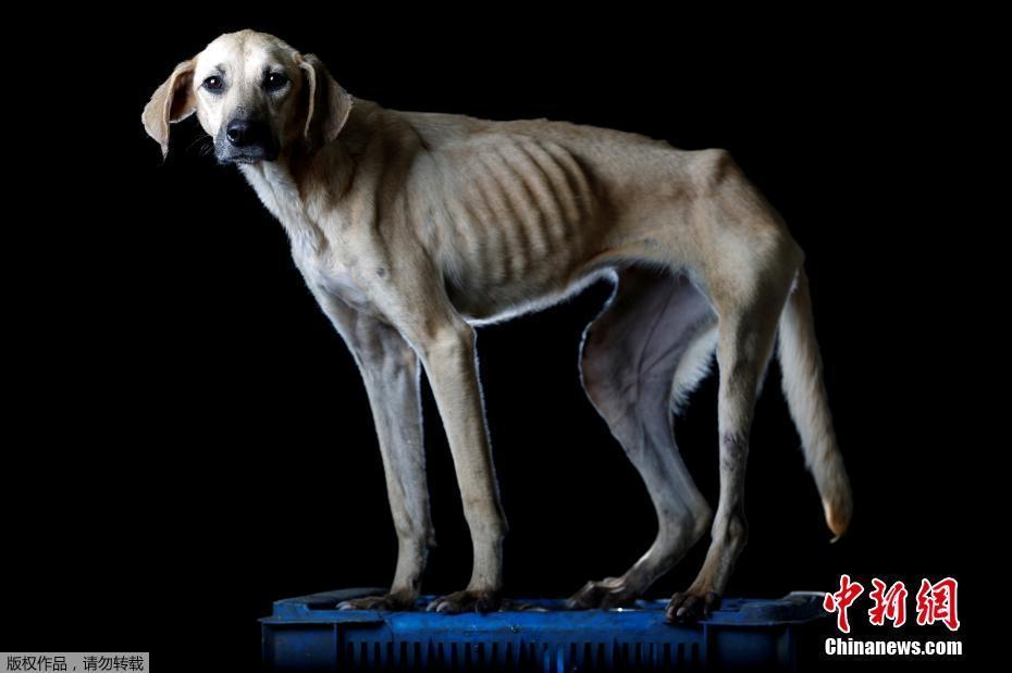 委内瑞拉经济危机 大量宠物狗被弃饿成皮包骨(图)