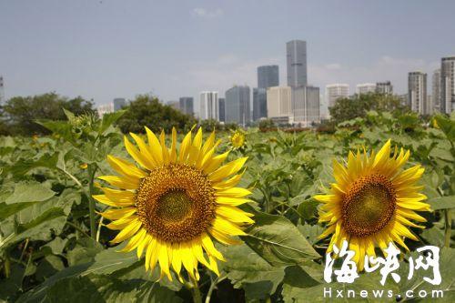 花海公园里,向日葵盛开