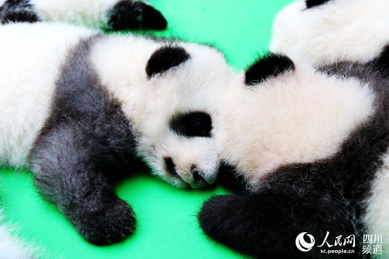 成都新生23只大熊猫首秀
