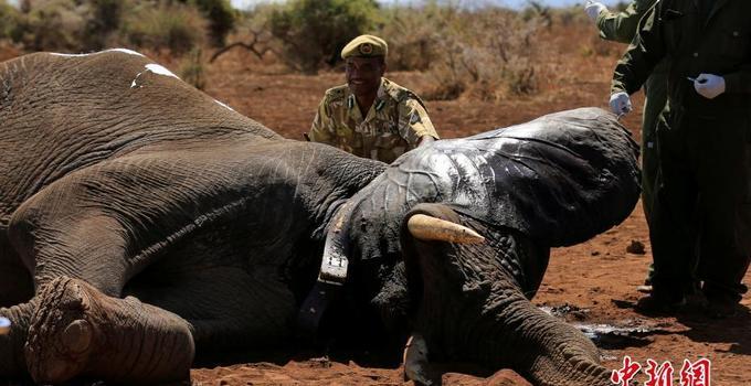 肯尼亚野生动物保护组织为大象安装先进卫星追踪圈