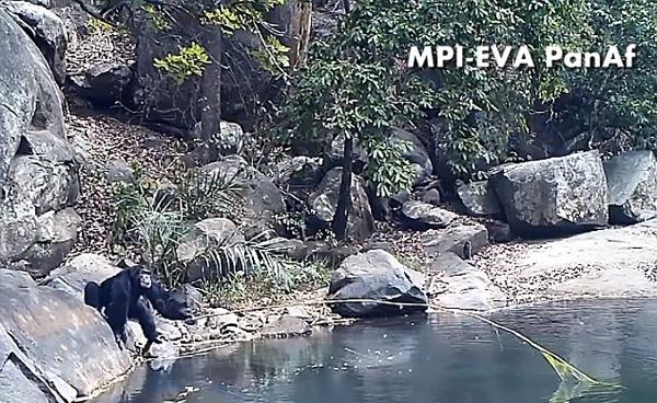 """黑猩猩使用长树枝做""""鱼竿""""采食水藻惊呆科学家"""