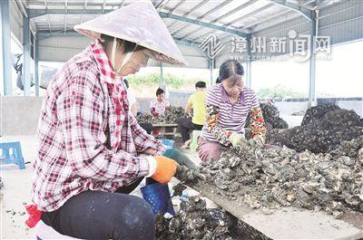 全省最大牡蛎吊养基地 诏安科技将牡蛎壳变废为宝