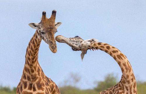 """非洲长颈鹿上演互相""""脖""""斗场景 画面滑稽可爱"""