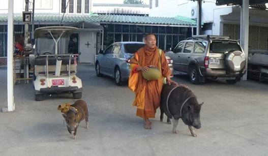 """泰国僧人带两个""""野猪弟子""""化缘"""
