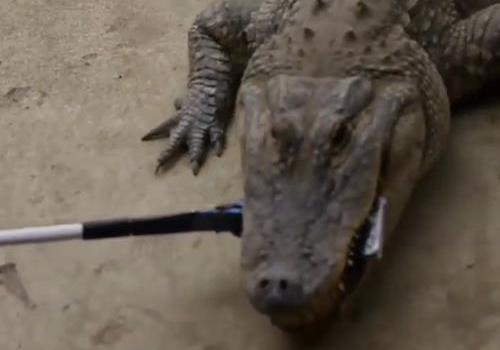 美国男子用鳄鱼测试iPhone7坚固性 快看看结果咋样