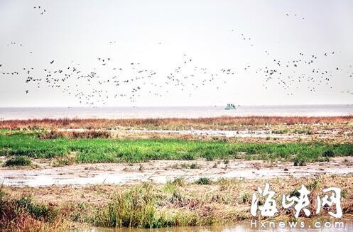 候鸟天堂:闽江河口湿地大批珍稀鸟类翩翩起舞