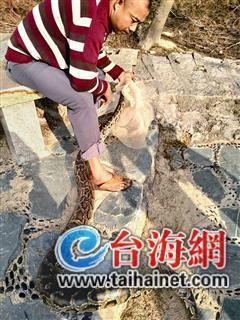 厦门环岛路出现3米长大蟒蛇 懒洋洋地晒着太阳