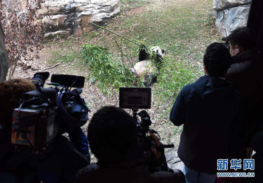"""旅美大熊猫""""宝宝""""启程回国 熊猫外交规矩:满四岁左右时必须回中国"""