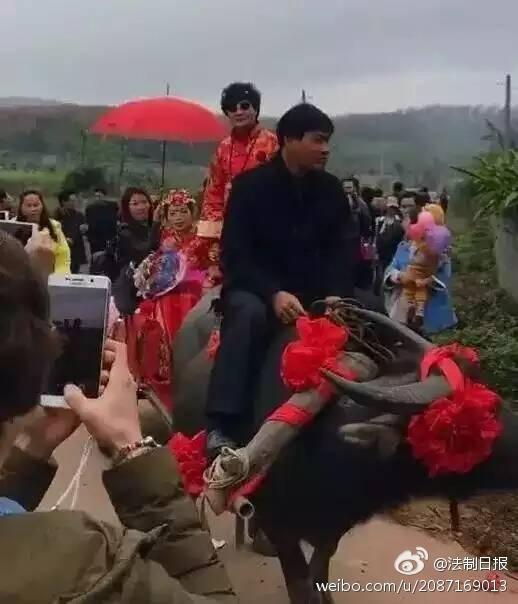 牛!小伙用九头牛和两拖拉机当婚车接新娘