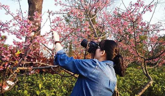 福州温泉公园樱花盛开 吸引市民观赏拍照