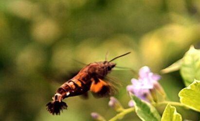 昆虫四不像现邯郸 蜂鸟鹰蛾是什么?原生于南欧和北非