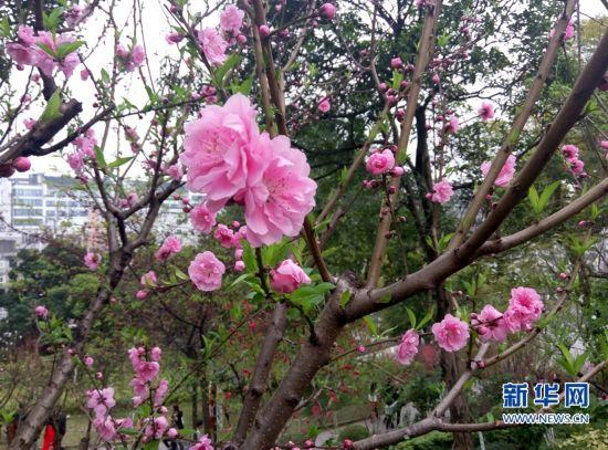 福州乌石山花会:2000多株花树斗艳