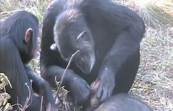 心碎一刻!赞比亚黑猩猩 为死去养子清洁牙齿