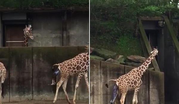 美国动物园游客拍到长颈鹿宝宝出生瞬间 引网友围观