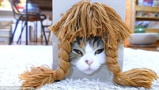 日本萌猫玛鲁试戴各种假发 博客浏览量已超80万