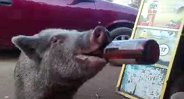 动物也疯狂!墨西哥一只灰猪数秒内狂饮3瓶啤酒