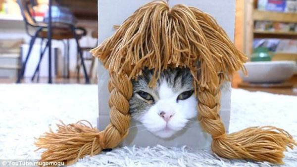 萌翻!日本猫咪试戴各种假发 塑造百变发型