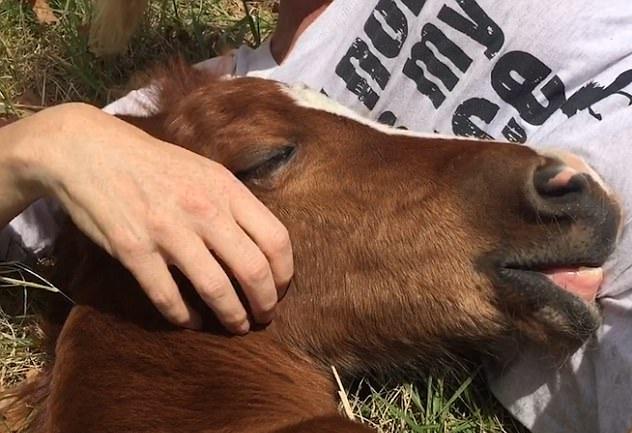 美国一匹小马驹靠着女摄影师小憩 场面温馨有爱