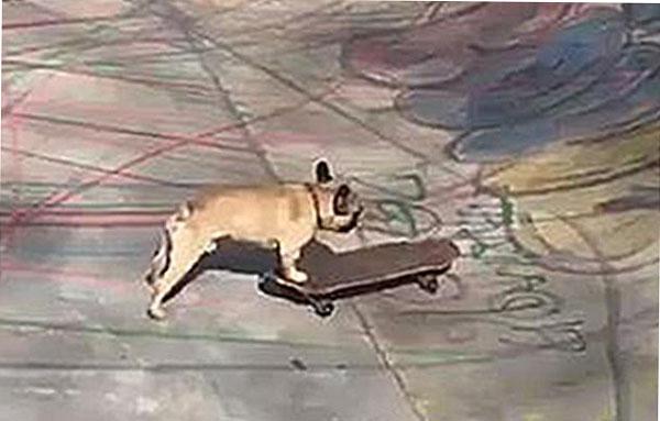有趣!法国一斗牛犬在伦敦公园玩滑板 引围观