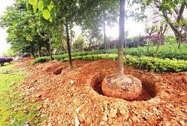 福州五四北:夜幕下 11棵树被连根挖起