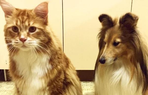 澳大利亚世界最长猫比狗大 爱吃生袋鼠肉
