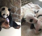 今年全球第一对圈养大熊猫双胞胎诞生