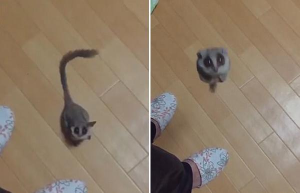 日本網友上傳自家嬰猴跳躍慢動作視頻 萌翻眾人