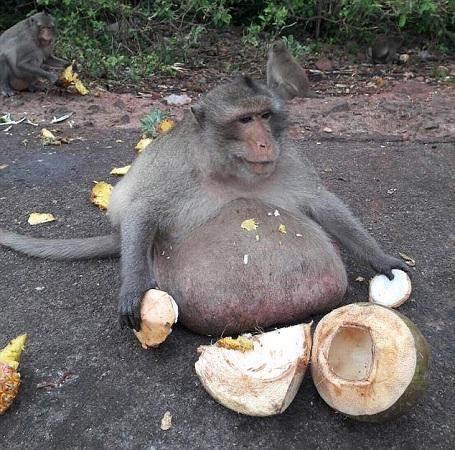"""猴子吃成15公斤""""胖叔"""" 因超重被送去减肥营"""