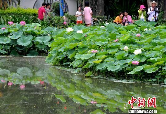 图为6月1日,福州茶亭公园80多个品种的荷花竞相开放,吸引众多游人前往赏荷观景。 张斌 摄
