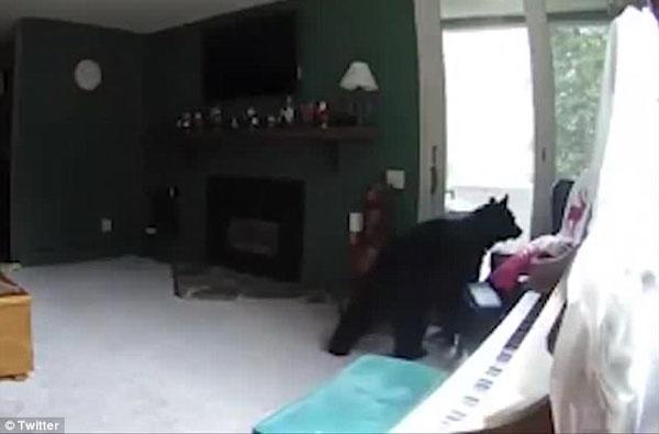 """美国一只灰熊入室""""打劫""""不忘弹钢琴秀才艺"""