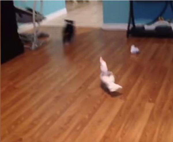 萌趣!美国31岁鹦鹉与3个月大牧羊犬追逐嬉戏