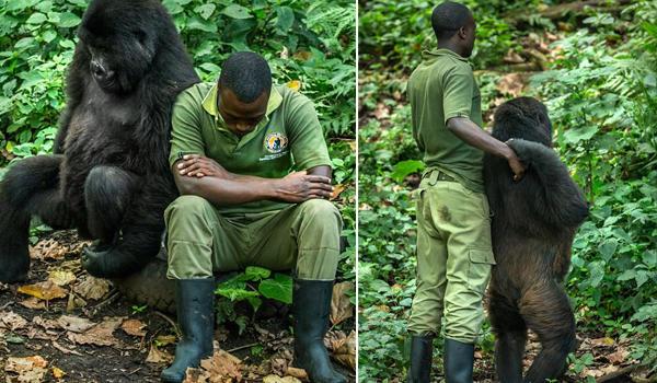 暖心!大猩猩模仿饲养员郁闷表情 逗其开心