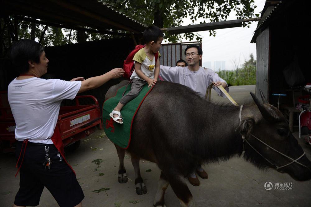 成都一父亲醉心国学 竟带3岁儿子骑牛上学
