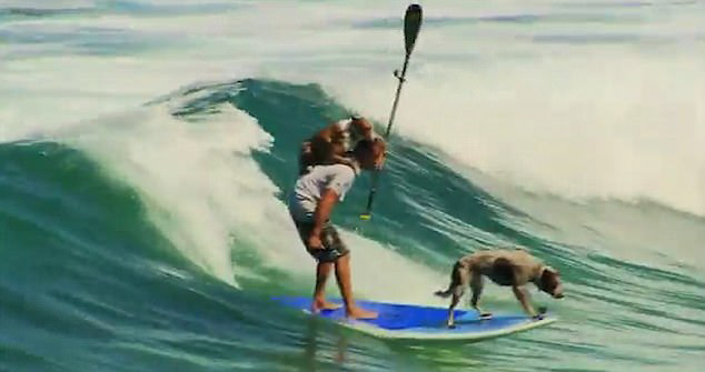 会玩!澳大利亚男子带着两只狗大玩冲浪蹿红网络