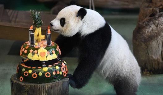 """台北:大熊猫""""圆仔""""迎来4岁生日"""