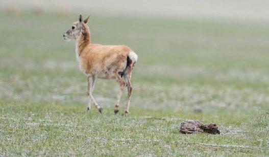 """在""""生命禁区""""迎接新生——首次直击藏羚羊产仔"""