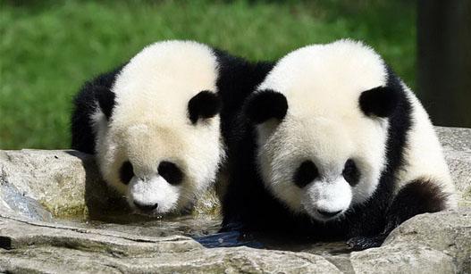 重庆动物园为双胞胎大熊猫举办1岁生日会