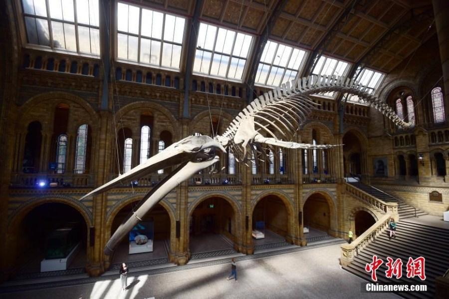 英国博物馆126岁蓝鲸骨骼悬空展示 现场霸气壮观