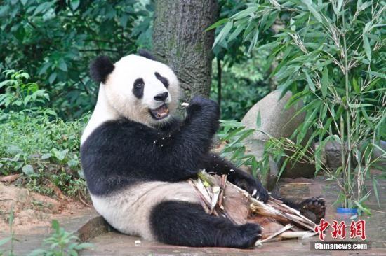 """两岸记者探访大陆赠台大熊猫""""团团""""""""圆圆""""雅安居所"""