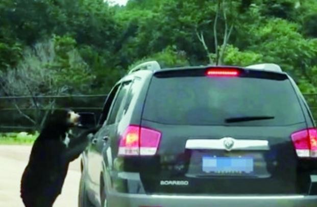 八达岭动物园黑熊扒乘客车窗 园方:游客私自开窗投食